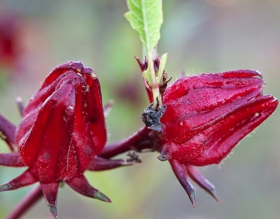 Rosella Flower Benefits